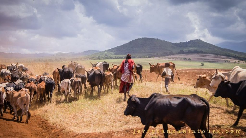 A maasai Man with cattle
