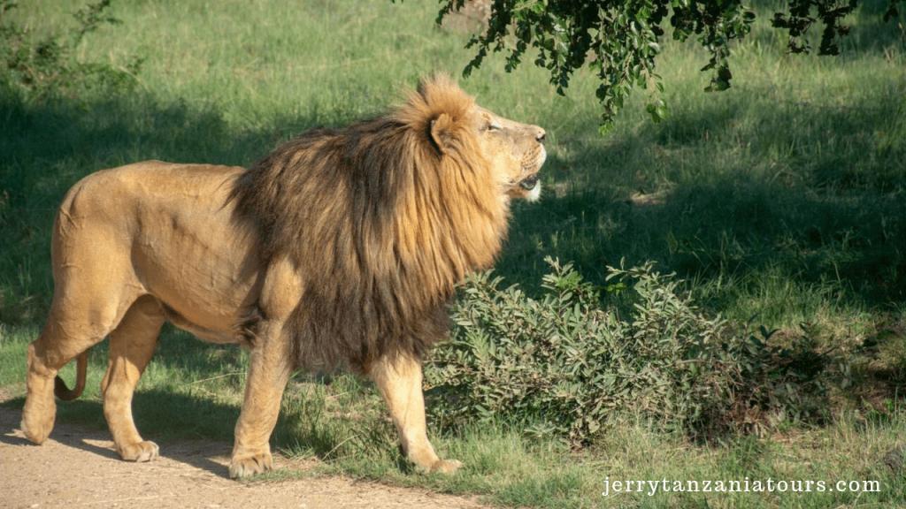THE RARE FELINE SPECIES OF WORLD: Lion