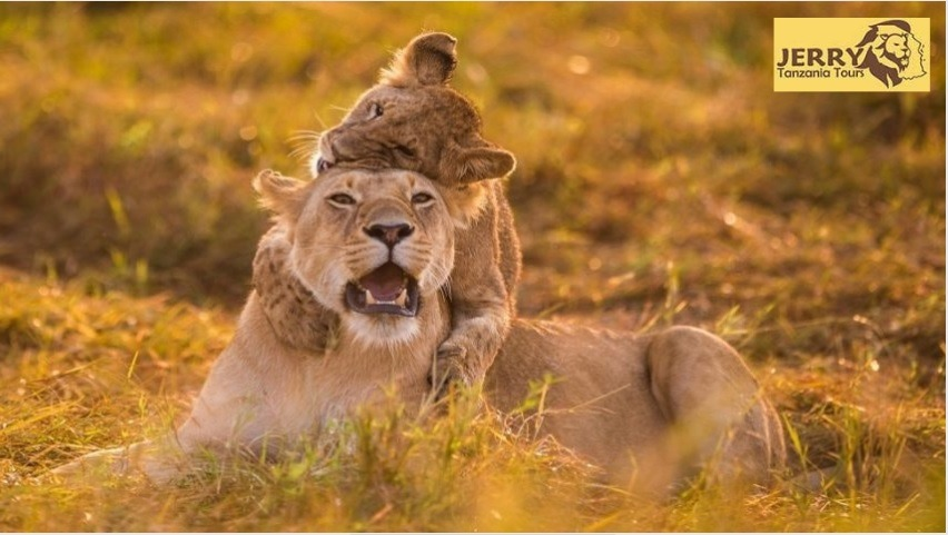A lion With cub