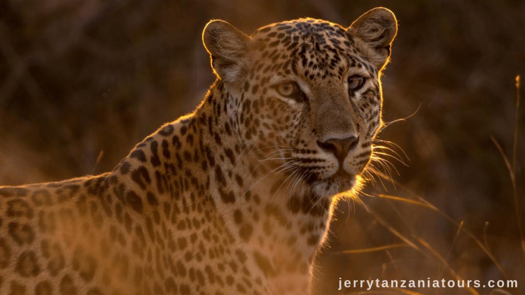 Tanzania Animals: Leopard