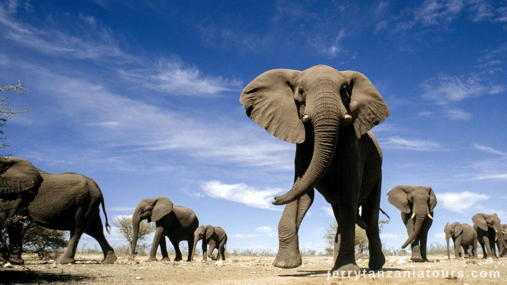 Tanzania Animals: African Elephant