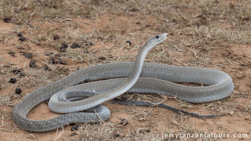 Tanzania Animals: Black Mamba