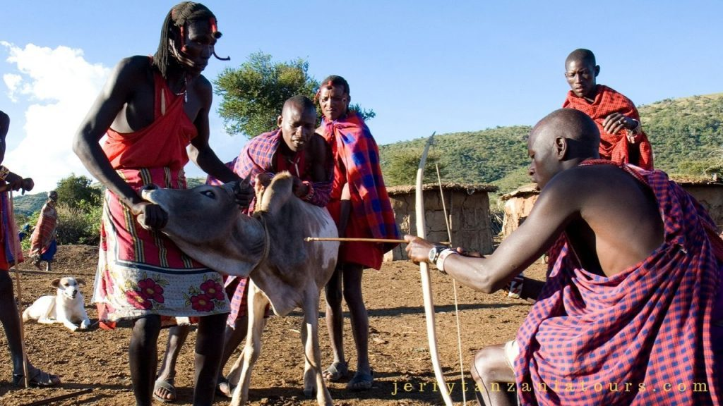 Maasai tradition of drinking cattle blood