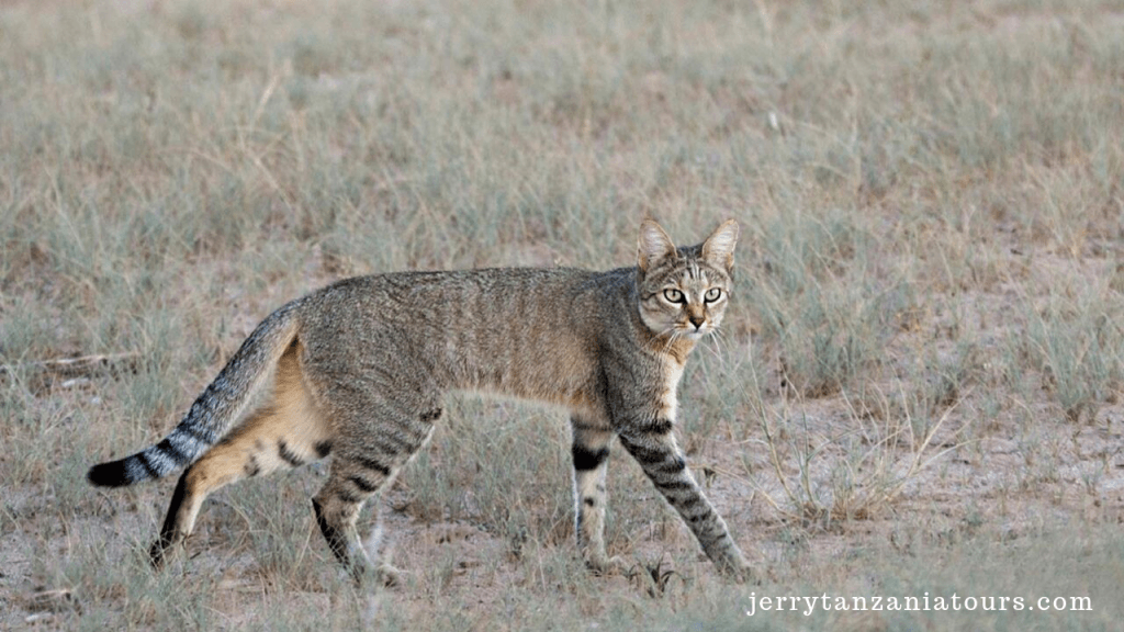 African wild cats
