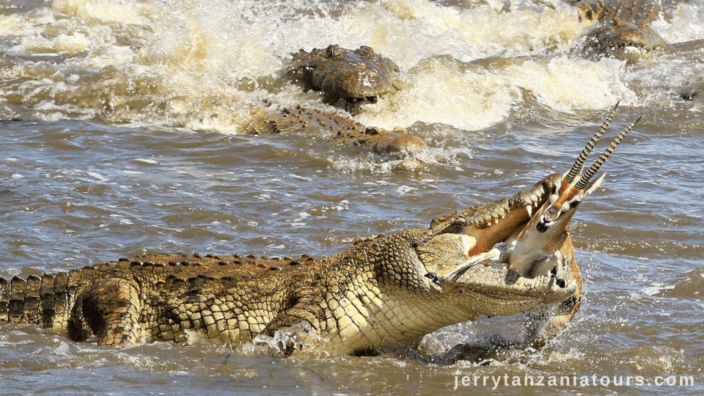 Tanzania Animals: crocodile