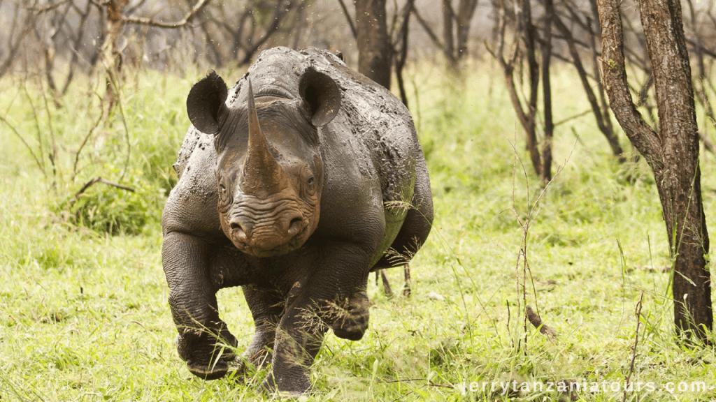 Tanzania Animals: An aggressive Rhino